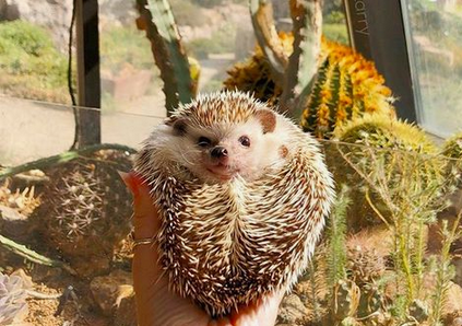 Hedgehog of Day Cactus Hedgehog